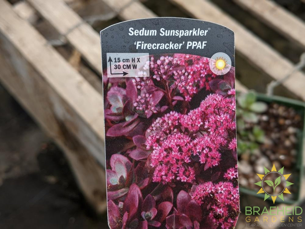 Sedum Sunsparkler 'Firecracker' PPAF