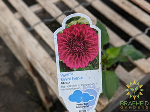 Dahlia 'Venti Royal Purple' - NO SHIP -