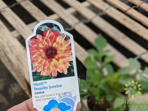 Dahlia 'Venti Tequila Sunrise' - NO SHIP -