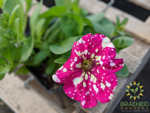 Petunia 'Headliner Pink Sky' - NO SHIP -