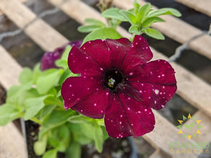 Petunia 'Headliner Starry Sky Burgundy' - NO SHIP -