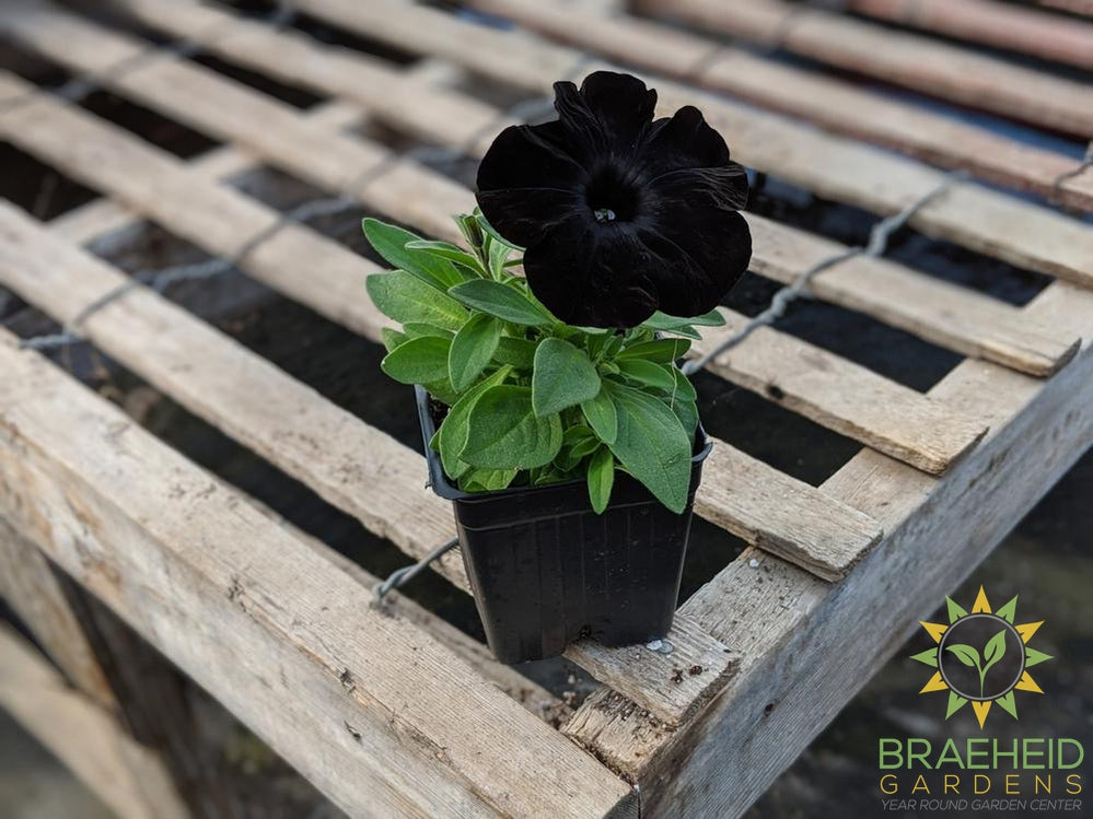 Petunia 'Black Ray' - NO SHIP -
