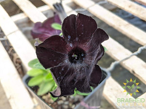 Petunia 'Crazytunia Black Mamba' PS - NO SHIP -