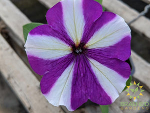Petunia 'Headliner Blueberry Swirl' - NO SHIP -