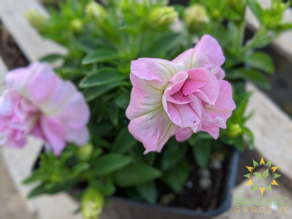 Petunia 'SweetSunshine Light Pink' - NO SHIP -
