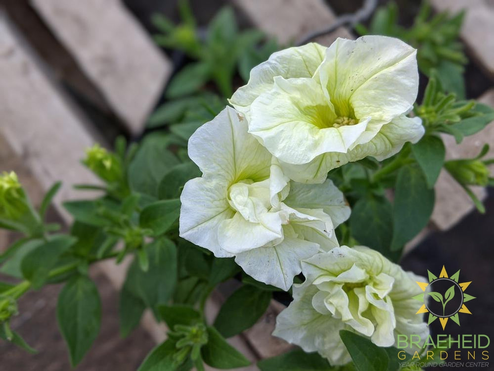 Petunia 'SweetSunshine Honeydew' - NO SHIP -