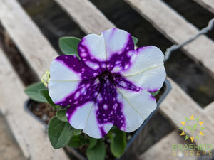 Petunia 'Headliner Night Sky' - NO SHIP -