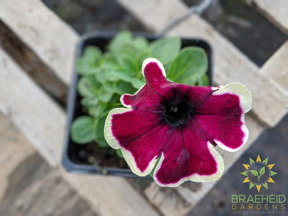 Petunia 'Crazytunia French Kiss' PS - NO SHIP -
