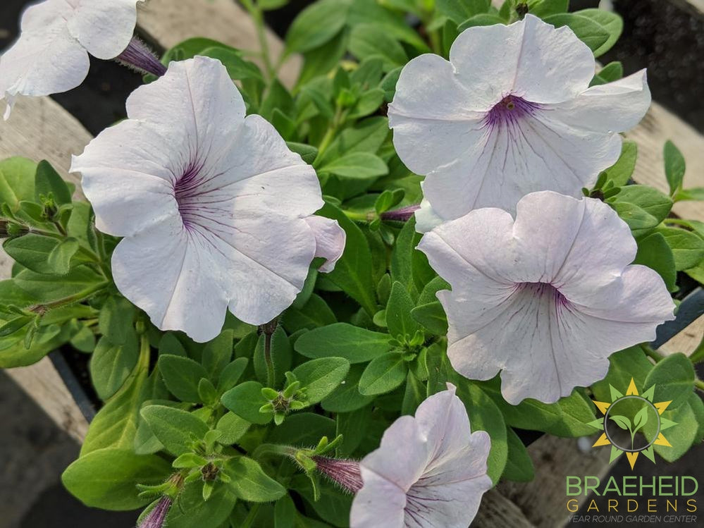 Petunia Easy Wave 'Silver' PW - NO SHIP -