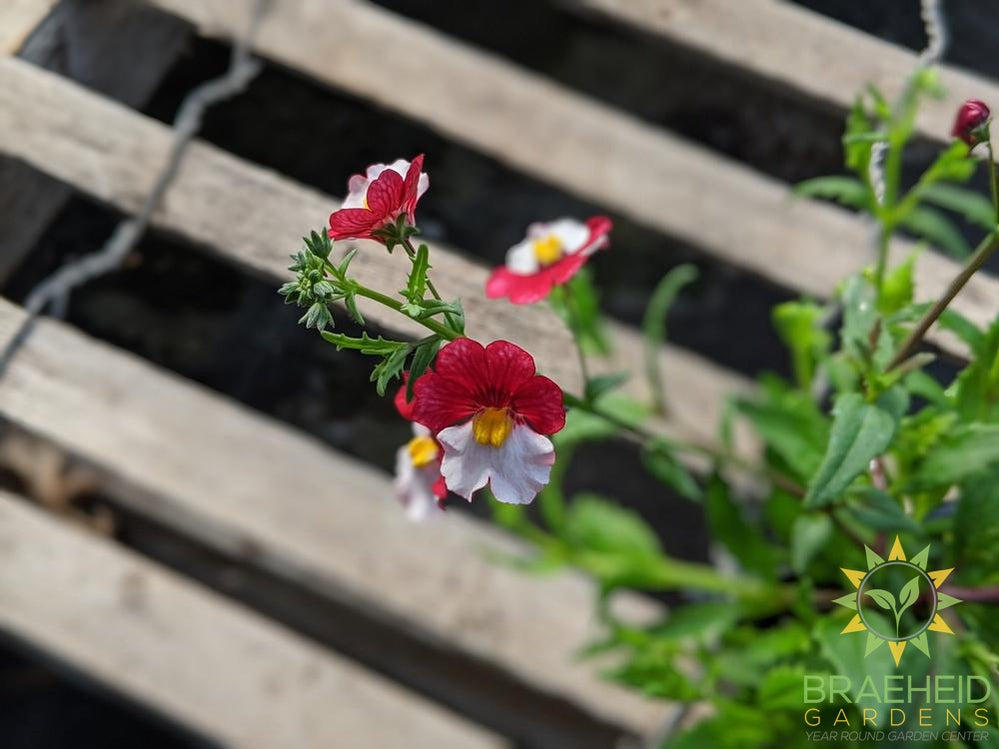 Nemesia 'Cherry on Ice' - NO SHIP -