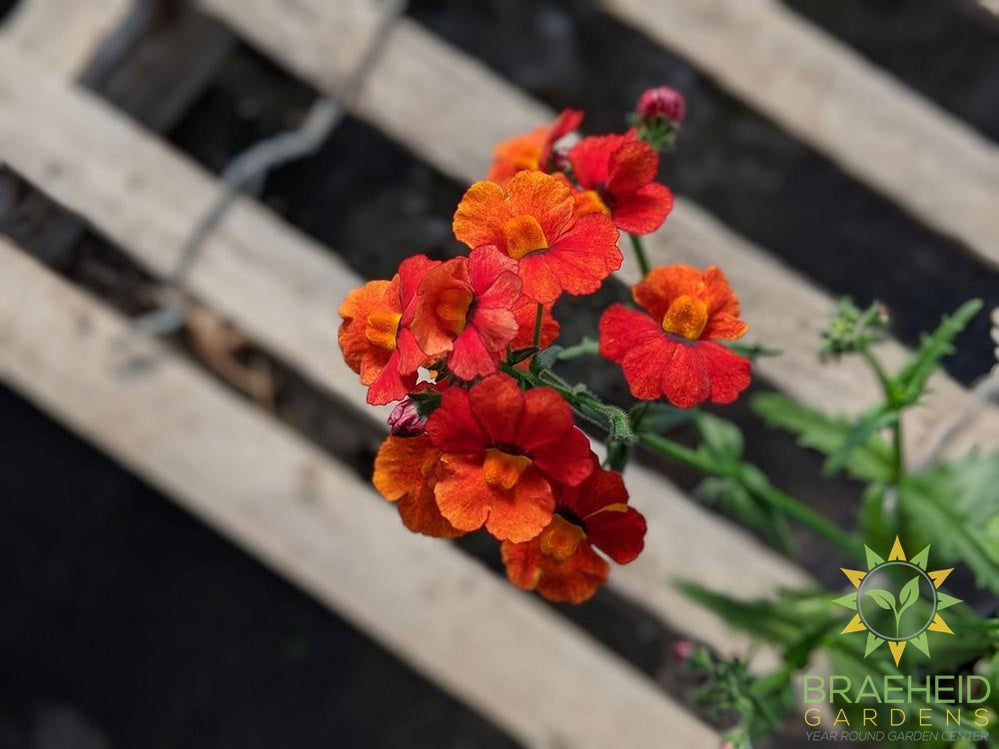 Nemesia 'Blood Orange' - NO SHIP -