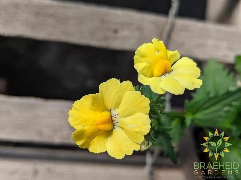 Nemesia 'Lemon' - NO SHIP -