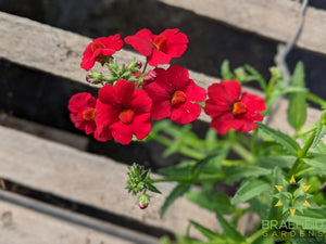 Nemesia 'Cranberry Red' PW - NO SHIP -