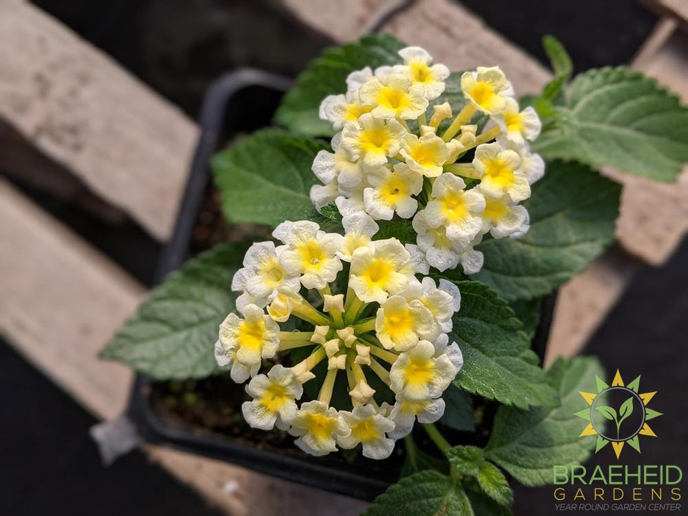Lantana Luscious 'Royale Pina Colada' PW - NO SHIP -