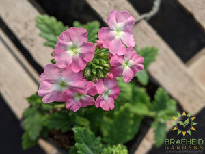 Verbena 'Blues Light Pink + Eye' - NO SHIP -