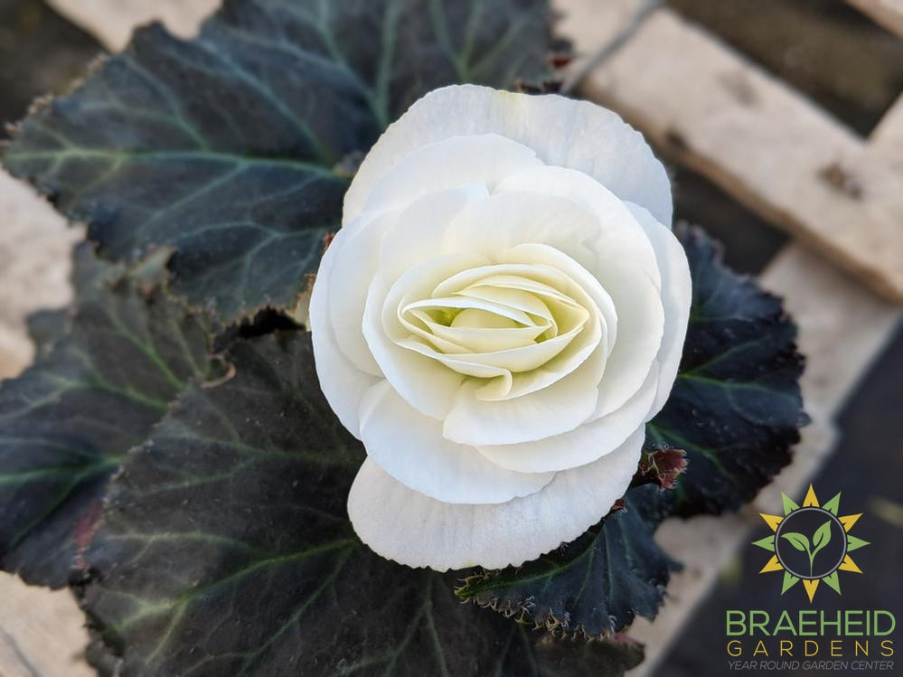 Begonia 'Nonstop Mocca White' - NO SHIP -