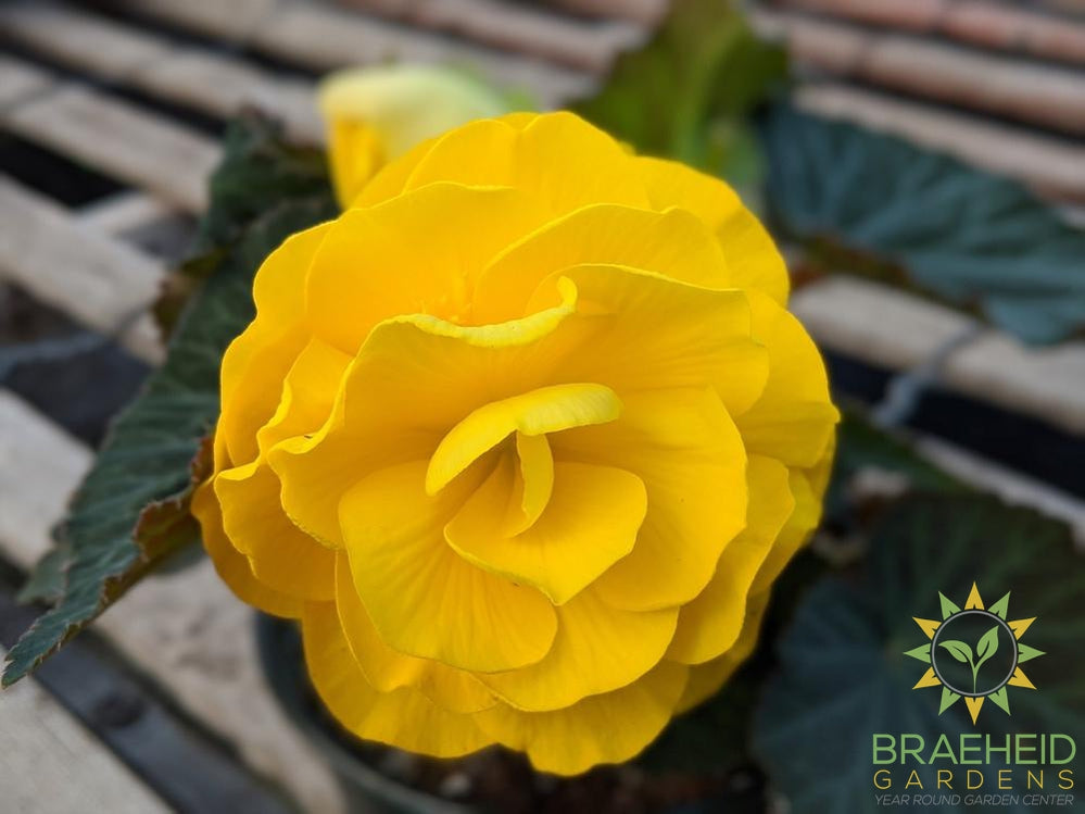 Begonia 'Nonstop Mocca Yellow' - NO SHIP -