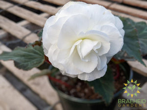 Begonia 'Nonstop White' - NO SHIP -