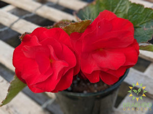 Begonia 'Nonstop Red' - NO SHIP -