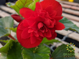 Begonia 'Illumination Scarlet' - NO SHIP -