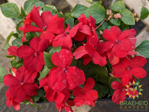 Impatiens 'Super Elfin Red XP' - NO SHIP -