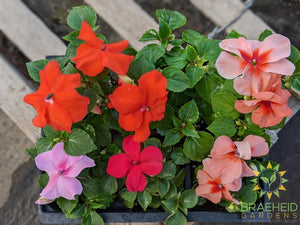 Impatiens 'Super Elfin Mix' - NO SHIP -
