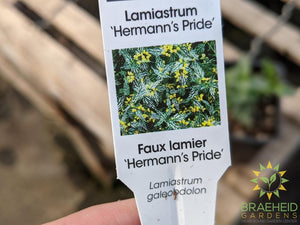 Lamiastrum 'Hermann's Pride' - NO SHIP -