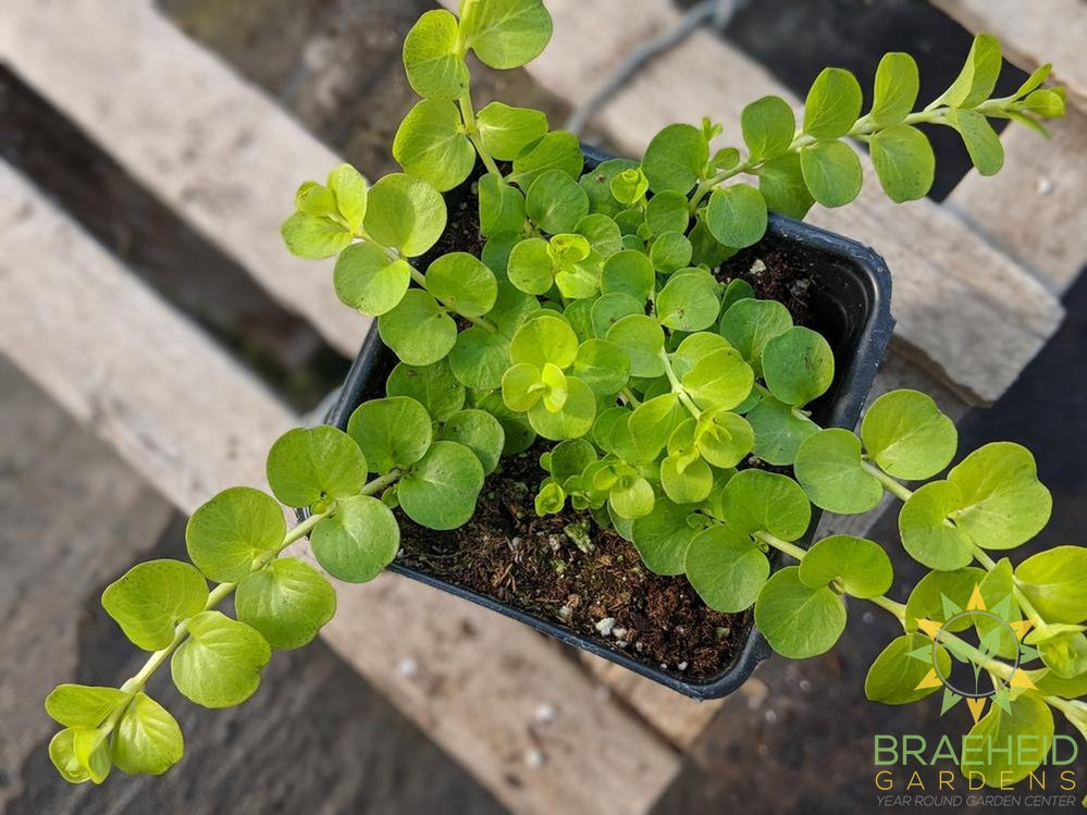 Lysimachia Creeping Jenny 'Moneywort' (Light green) - NO SHIP -