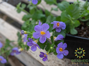 Bacopa 'Snowstorm Blue' - NO SHIP -