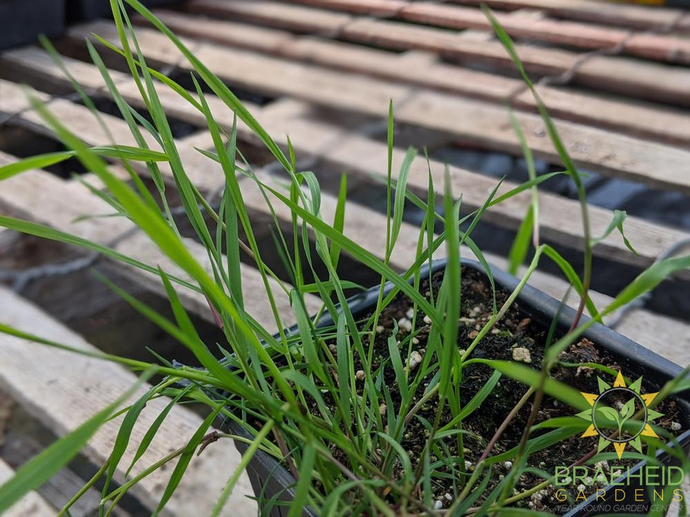 Agrostis 'Green Twist' Trailing Bamboo - NO SHIP -