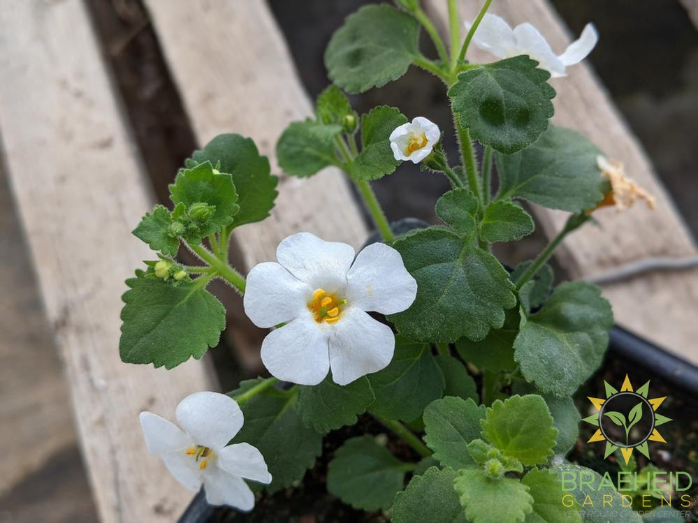 Bacopa 'MegaCopa White' - NO SHIP -