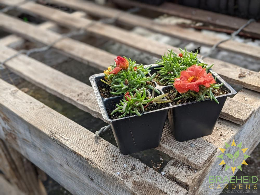 Portulaca 'Happy Hour Orange' - NO SHIP -