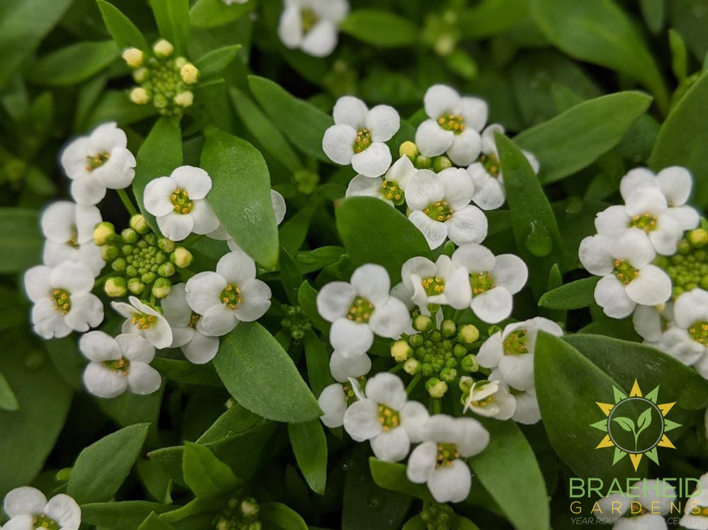 Alyssum Clear Crystal 'White' - NO SHIP -