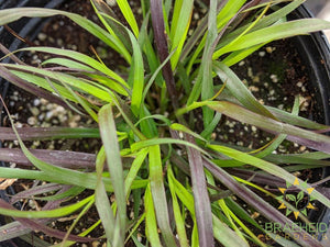 Pennisetum 'Purple Fountain Grass' - NO SHIP -
