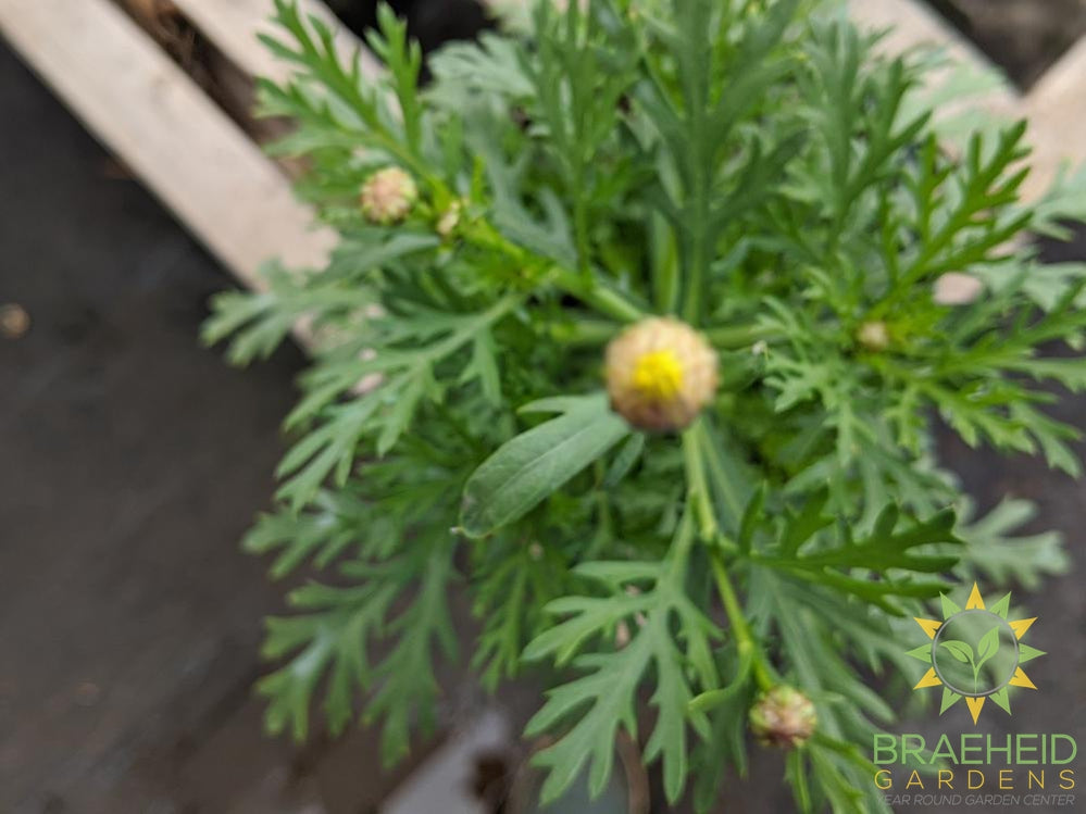 Argyranthemum 'Golden Butterfly' - NO SHIP -