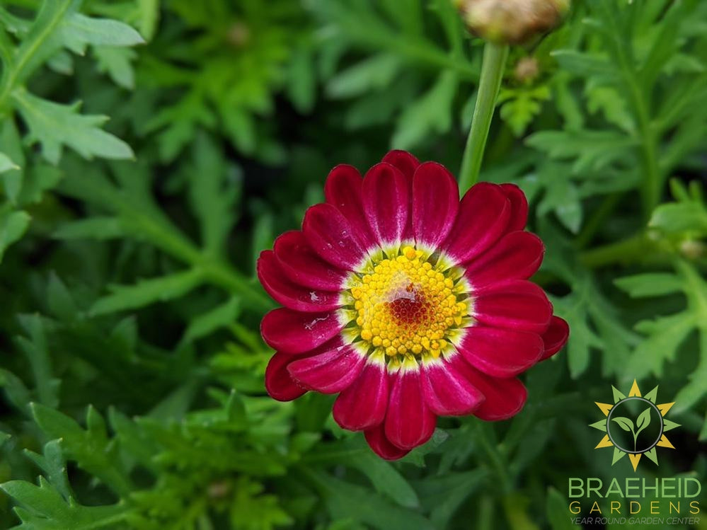 Argyranthemum 'Meteor Red' - NO SHIP -