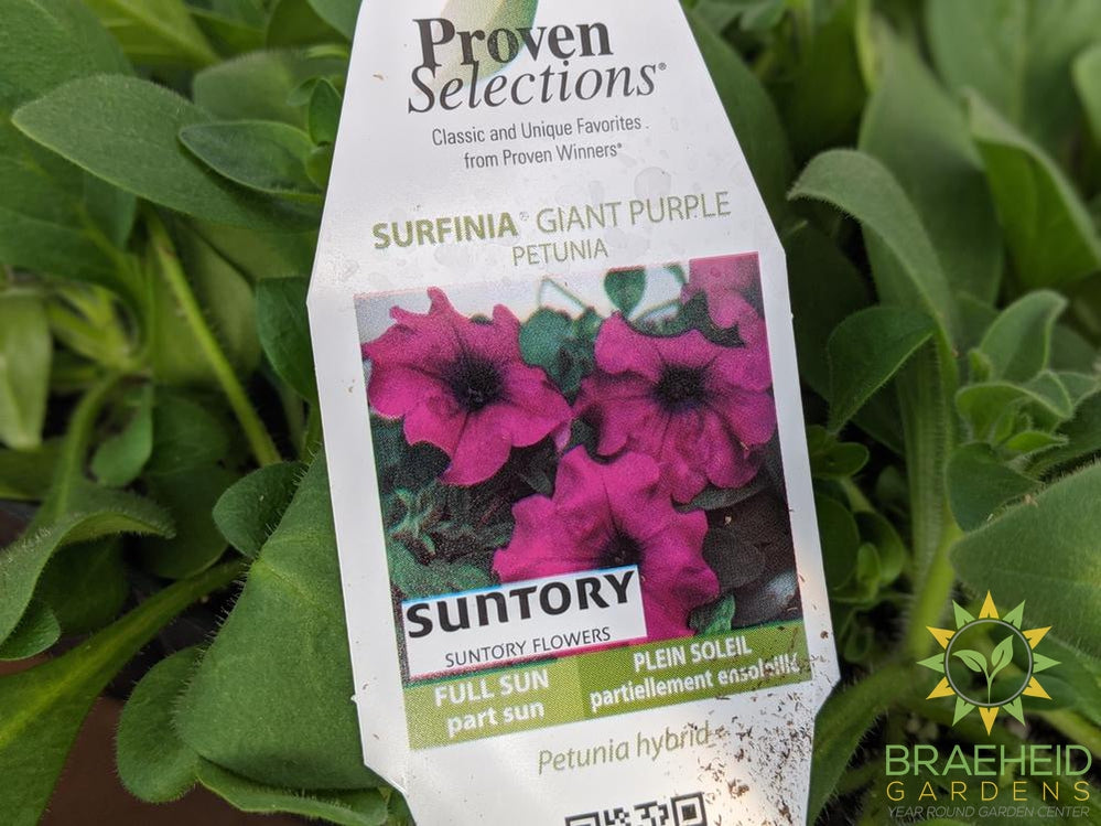 Petunia Surfina 'Giant Purple' PW - NO SHIP -