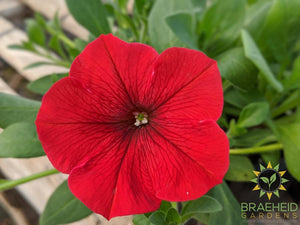 Petunia Easy Wave 'Red' - NO SHIP -