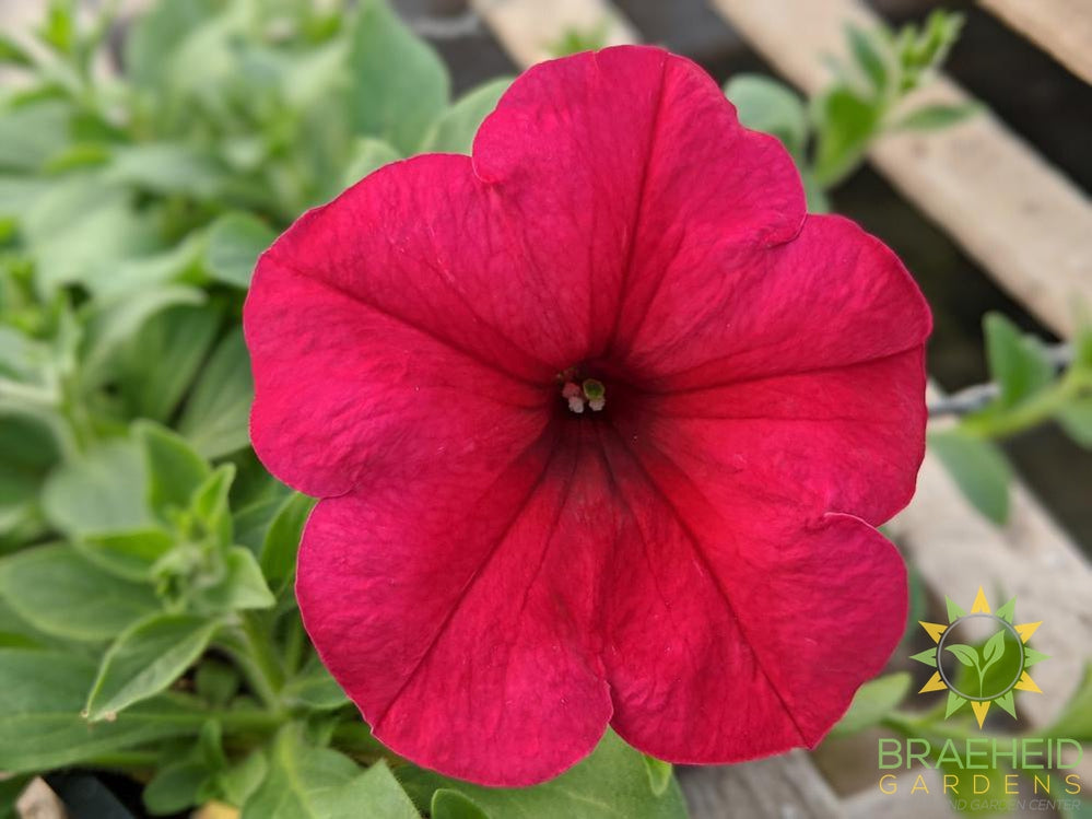 Petunia Easy Wave 'Berry Velour' - NO SHIP -