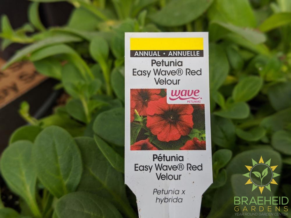 Petunia Easy Wave 'Red Velour' - NO SHIP -