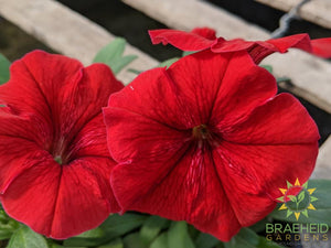 Petunia Madness 'Red' - NO SHIP -
