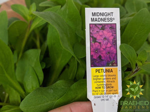 Petunia Madness 'Midnight' - NO SHIP -