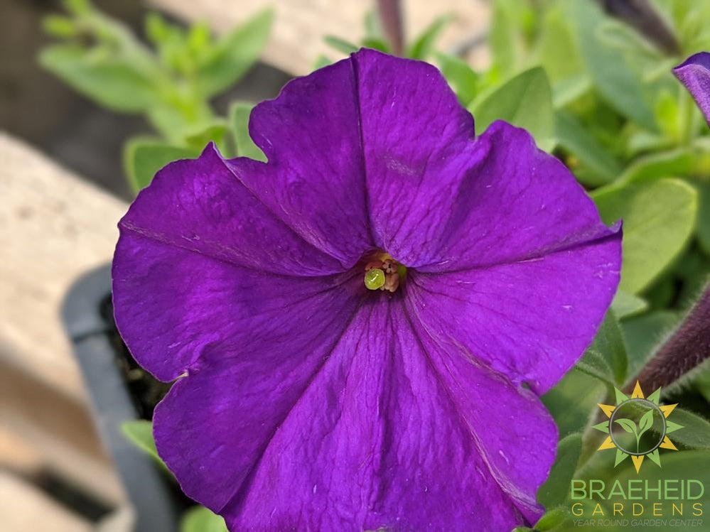 Petunia Picobella 'Blue' - NO SHIP -