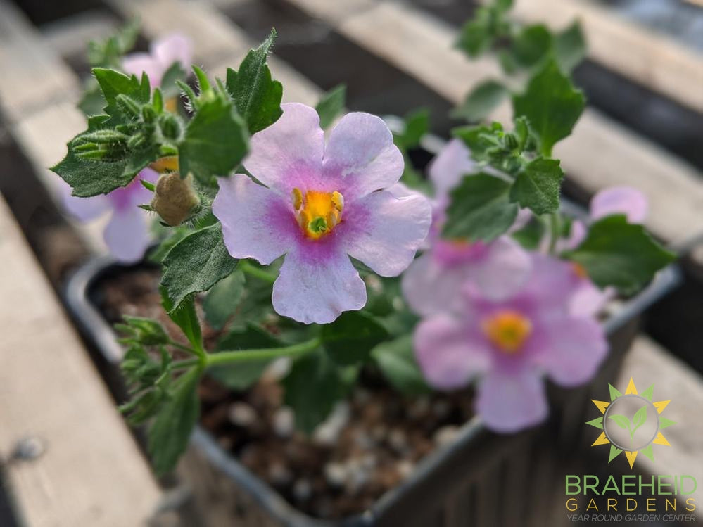 Bacopa 'Snowstorm Pink' - NO SHIP -