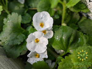 Bacopa 'Snowstorm Giant Snowflake' PW - NO SHIP -