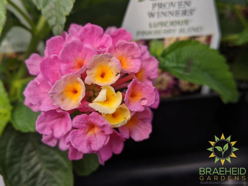 Lantana Luscious 'Pinkberry Blend' PW - NO SHIP -