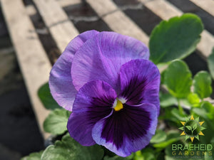 Pansy Matrix 'Ocean Breeze Mix' - NO SHIP -