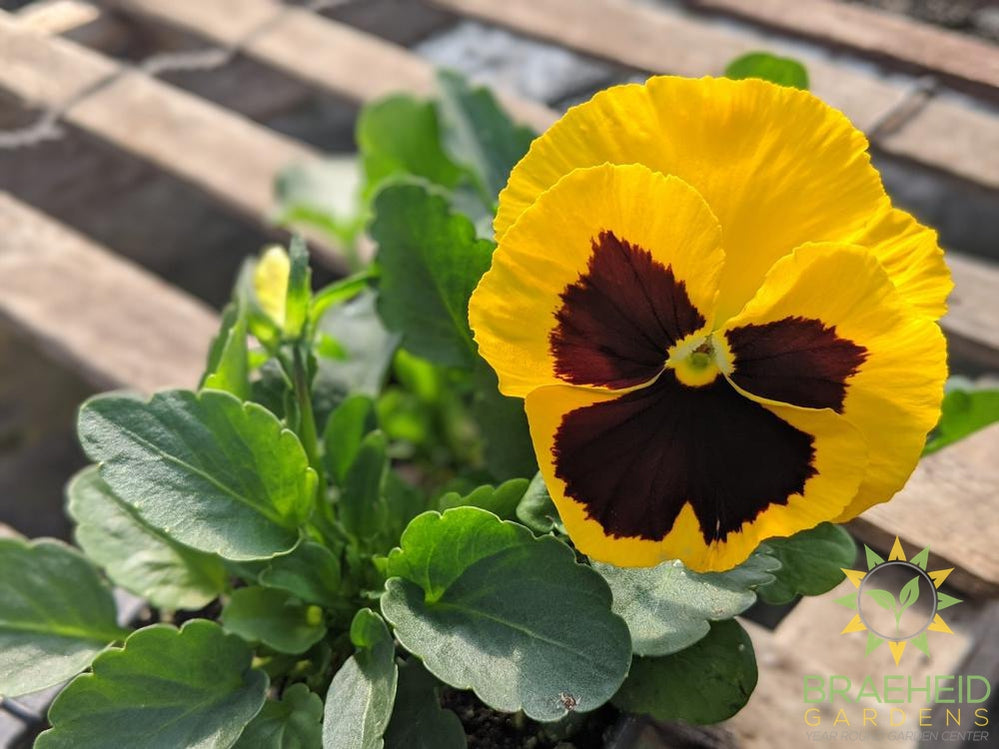 Pansy Matrix 'Yellow W/ Blotch' - NO SHIP -