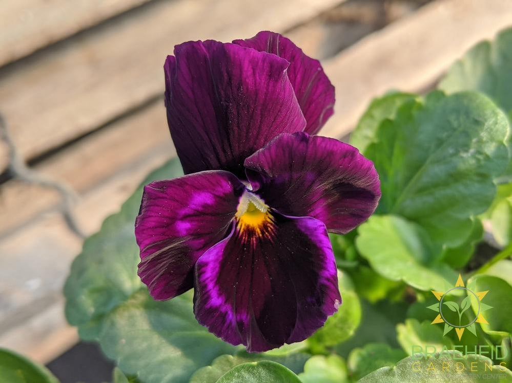 Pansy Delta 'Speedy Purple' - NO SHIP -