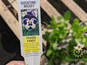 Pansy 'Quicktime Mickey' - NO SHIP -